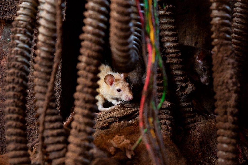 Die Ratten sind natürlich heilig und werden von den Einheimischen mit diversen Köstlichkeiten verwöhnt.
