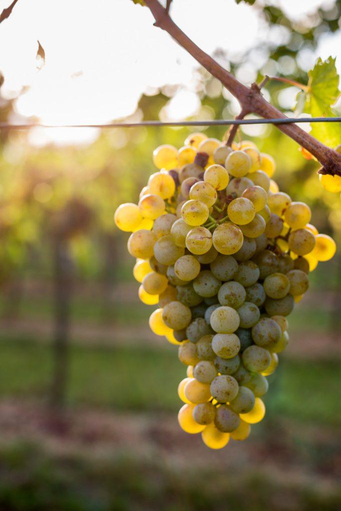 Die prall gefüllt Trauben in den Weinbergen bieten eindrucksvolle Fotomotive.