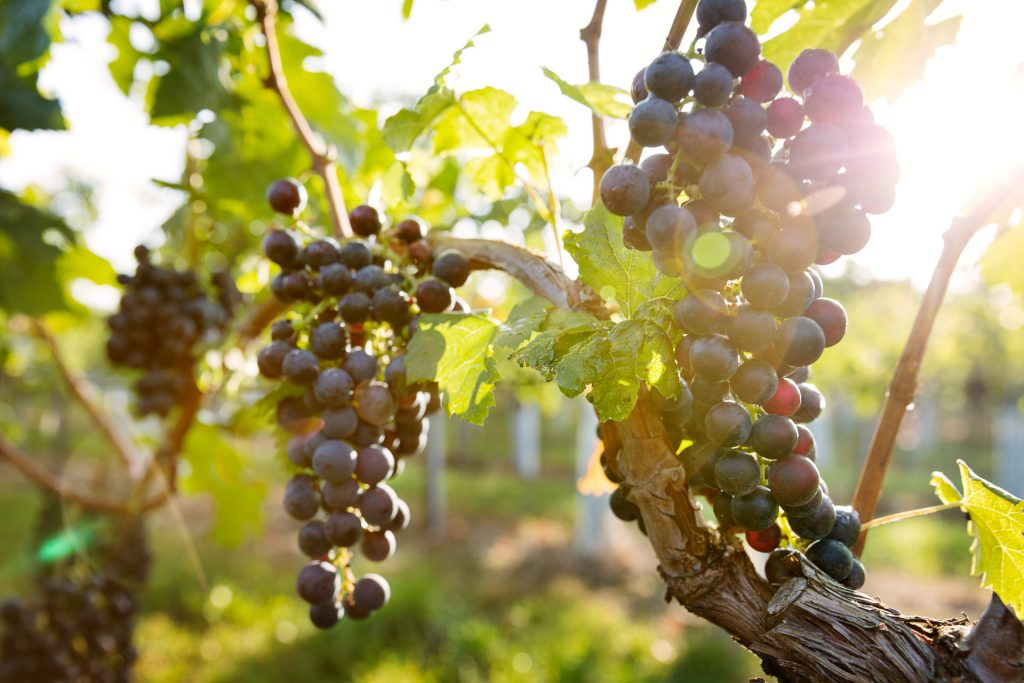 Lerne die Natur der Weinregion Canuntum auf Bild zu bannen.