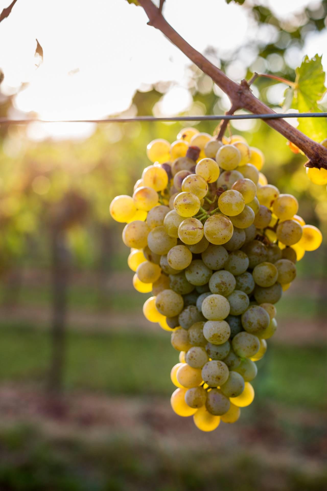 Helle Weintrauben strahlen im Gegenlicht und heben sich dadurch vom Hintergrund ab.