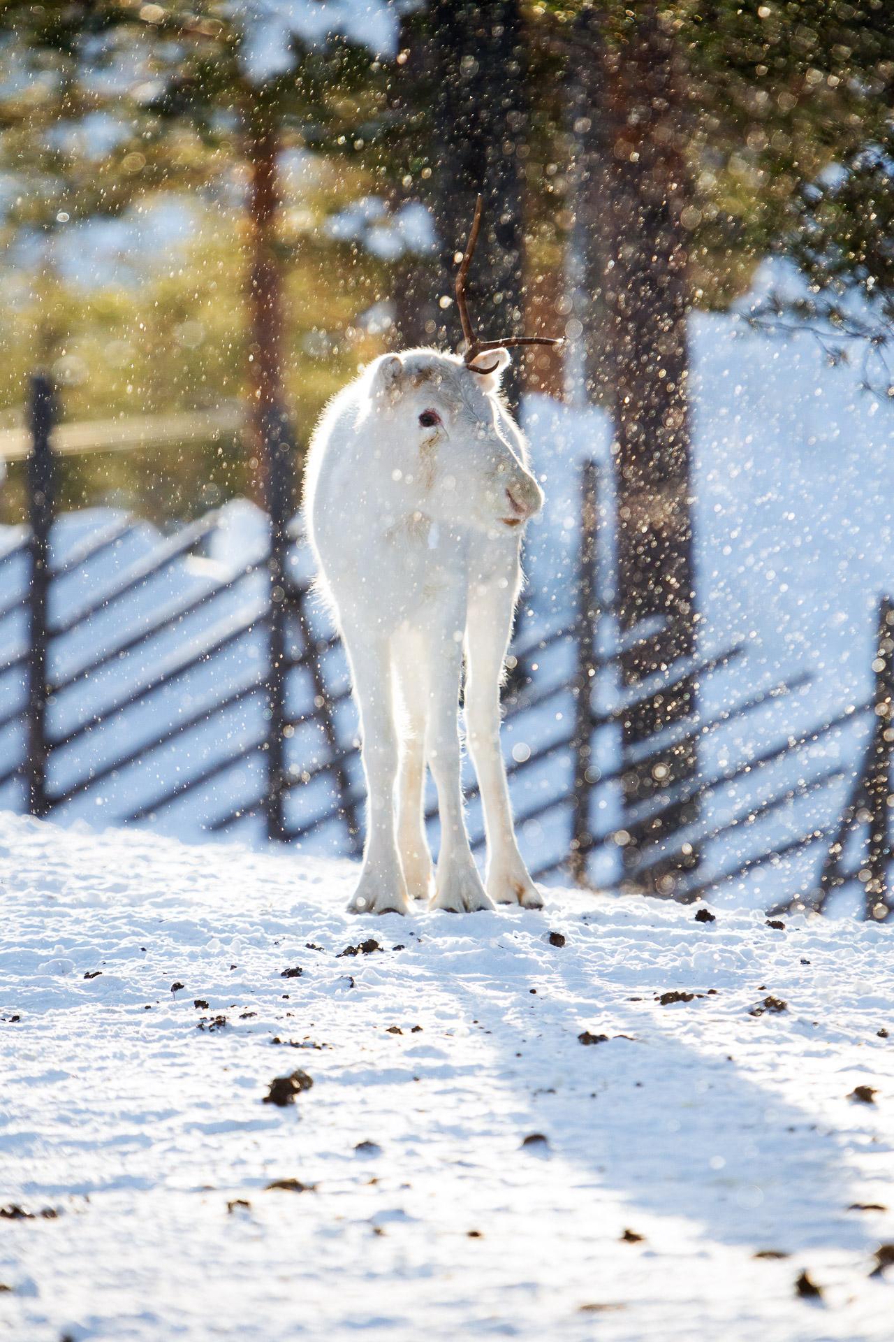 Ein Rentier erstrahlt. Schneefall und Gegenlicht machen es möglich.
