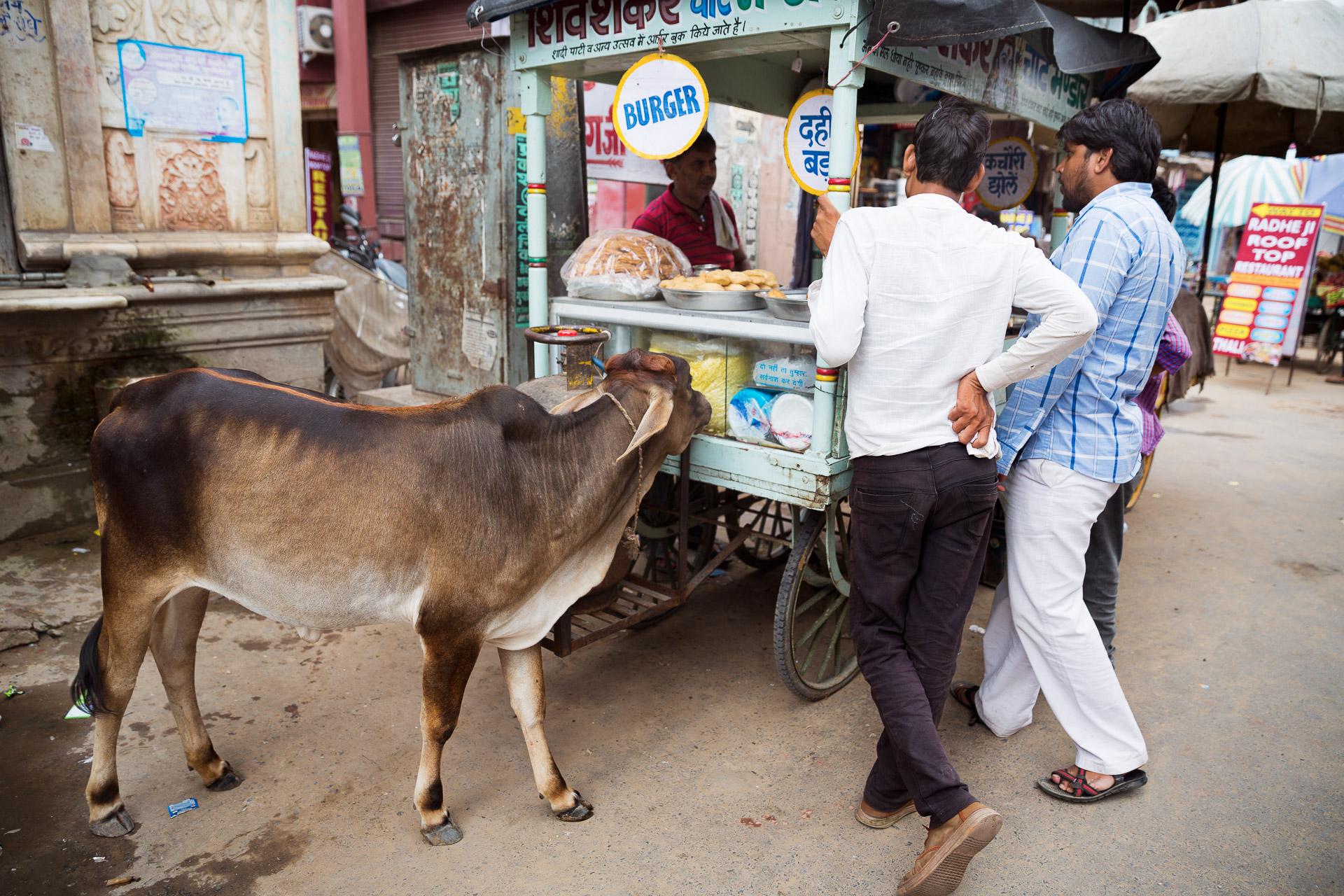 Eine heilige Kuh vor einem Burgerstand in Pushkar. Gut, dass die Inder sich fast ausschließlich vegetarisch ernähren.